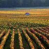 Бургундия. Созревающие виноградники