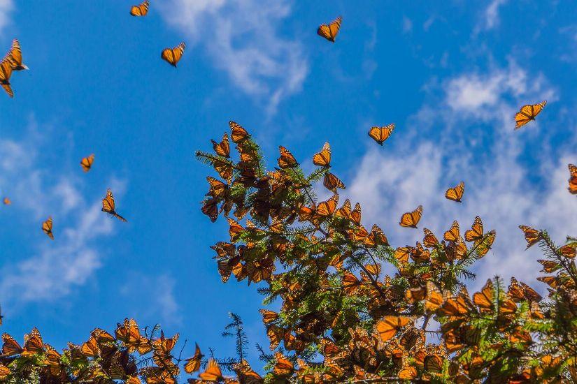 Биосферный заповедник бабочки Монарх